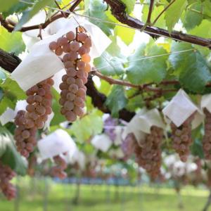 Koshu Japanese Wine Trellis